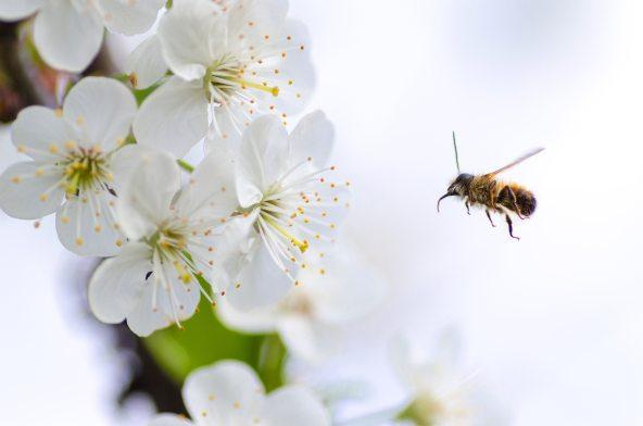 beautiful-beauty-bee-379926