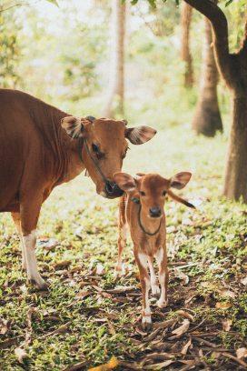 animal-calf-cattle-1838564